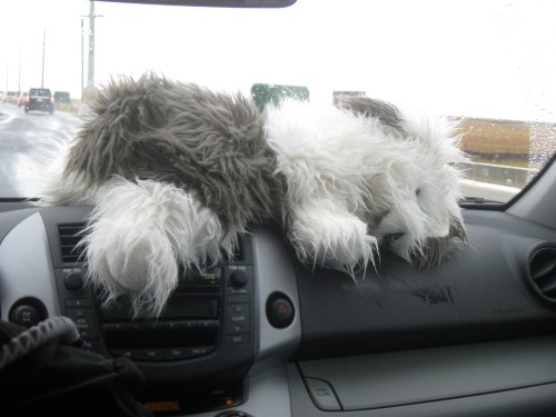 Fluffy the Science Dog tries to dry her fur with the warm air of the car heater. All for the Fluffy the Science Dog tries to dry her fur with the warm air of the car heater. All for the love of science! What a day!