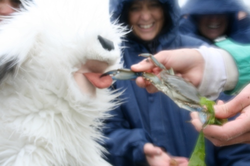 Fluffy the Science Dog is very brave and she volunteers to throw the Blue Crab back into the sea. Oh no! Before Fluffy can get her paw out to take the crab the big Blue Crab latches onto her TONGUE with a big pincher claw! OWWW!
